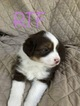 Miniature Australian Shepherd Puppy For Sale in MARIETTA, GA, USA