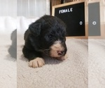 Small Photo #2 Aussiedoodle Puppy For Sale in DERBY, IA, USA