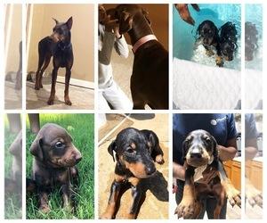 Doberman Pinscher Puppy for sale in MIDLAND, GA, USA