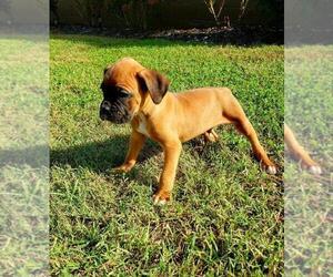 Boxer Puppy for sale in PELZER, SC, USA