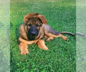 German Shepherd Dog Puppy for sale in SHELTON, WA, USA