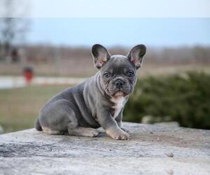 French Bulldog Puppy for sale in ERIAL, NJ, USA