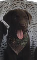 Labrador Retriever Puppy For Sale in WARSAW, NY, USA