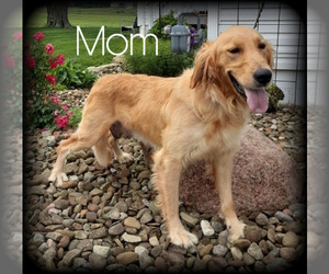 Mother of the Golden Retriever puppies born on 04/24/2021