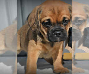 Puggle Puppy for sale in NILES, MI, USA