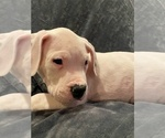 Small #14 Dogo Argentino