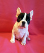 French Bulldog Puppy For Sale in ADRIAN, MI