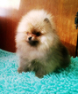 Pomeranian Puppy For Sale in Minsk, Minsk City, Belarus