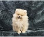 Puppy 8 Pomeranian
