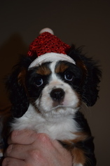 Cavalier King Charles Spaniel Puppy For Sale in MEMPHIS, IN, USA