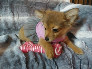 Chiranian Puppy for sale in WOONSOCKET, RI, USA