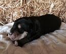 Bernese Mountain Dog-Labrador Retriever Mix Puppy For Sale in ARTHUR, IA, USA
