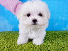 Maltese Puppy For Sale in LAS VEGAS, NV, USA