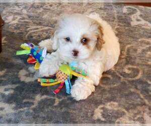 Cocker Spaniel-Poodle (Miniature) Mix Puppy for sale in HERRIMAN, UT, USA