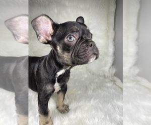French Bulldog Dog for Adoption in SANTA ANA, California USA