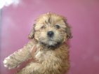 Poodle (Toy)-Shih Tzu Mix Puppy For Sale in PATERSON, NJ, USA