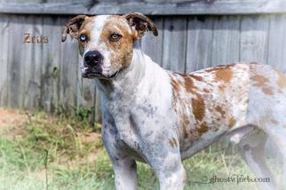 Zeus - Cattle Dog / Hound / Mixed Dog For Adoption