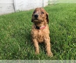Small #8 Poodle (Standard)