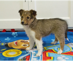 Shetland Sheepdog Puppy for sale in MILWAUKEE, WI, USA