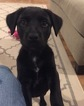 Labrador Retriever Dog For Adoption in CABOT, AR, USA