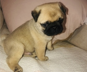Pug Puppy for sale in FOSTER, RI, USA