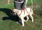 Mastiff Puppy For Sale in LYNCHBURG, VA