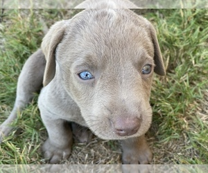Labrador Retriever Puppy for sale in BULVERDE, TX, USA