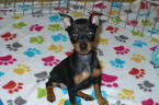 Miniature Pinscher Puppy For Sale in TUCSON, AZ, USA