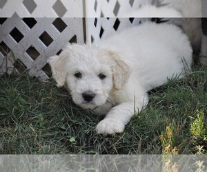 Pyredoodle Puppy for sale in AVILLA, IN, USA