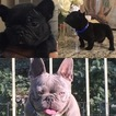 French Bulldog Puppy For Sale in BELL, CA