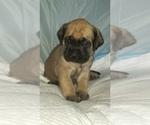 Small #36 Mastiff