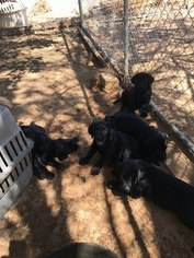 Labrador Retriever Puppy For Sale in APPLE VALLEY, CA
