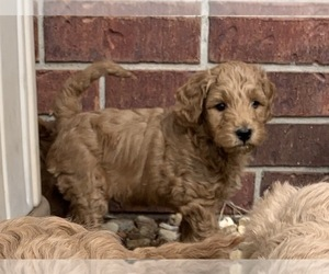 Goldendoodle (Miniature) Dog for Adoption in ALTON, Illinois USA