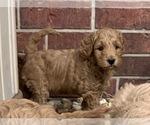 Small Goldendoodle (Miniature)
