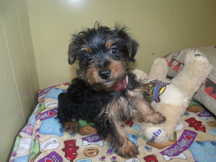 Silky Terrier Puppy for sale in PATERSON, NJ, USA