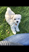 Maltese Puppy For Sale in MUSCATINE, IA,
