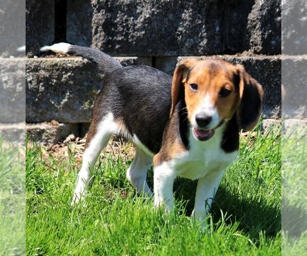 View Ad: Beagle Puppy for Sale near Poland