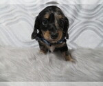Small Photo #1 Dachshund Puppy For Sale in HAWESVILLE, KY, USA