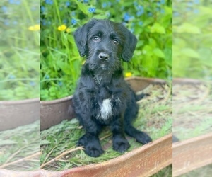Labradoodle Puppy for Sale in SILVERDALE, Washington USA