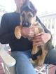 German Shepherd Dog Puppy For Sale in SPARTANBURG, SC, USA