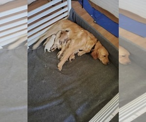 Mother of the Golden Retriever puppies born on 06/03/2019