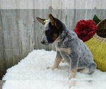 Small #4 Australian Cattle Dog