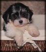 Havanese Puppy For Sale in WAYLAND, IA,