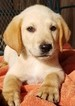Labrador Retriever Puppy For Sale in HARRISON, AR, USA