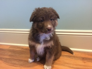 Australian Shepherd Puppy For Sale in ALLENDALE, MI