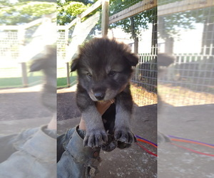 German Shepherd Dog-Wolf Hybrid Mix Puppy for Sale in DALTON, Ohio USA