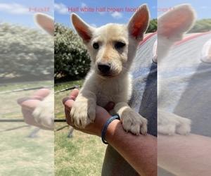German Shepherd Dog Puppy for sale in LUBBOCK, TX, USA