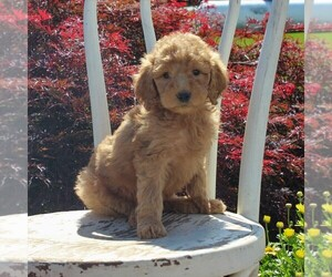Goldendoodle Puppy for sale in HONEY BROOK, PA, USA