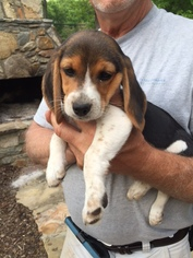 Puppyfindercom Beagle Puppies For Sale Near Me In North Carolina
