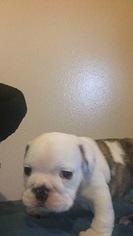 Bulldog Puppy for sale in LAREDO, TX, USA